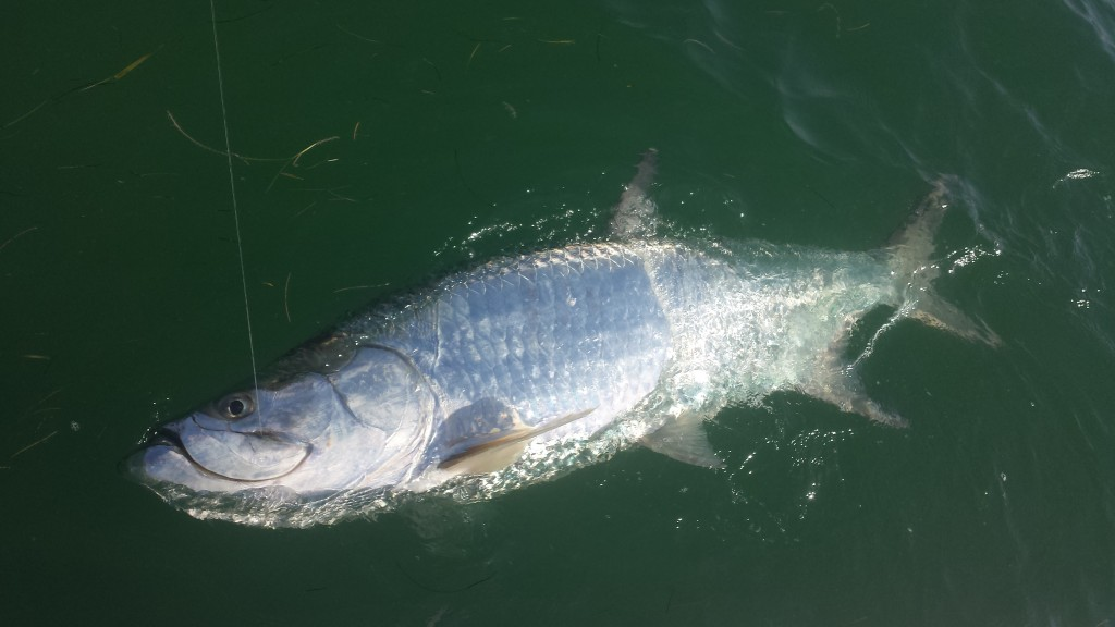 4 6 15 april florida keys tarpon fishing report for Islamorada tarpon fishing